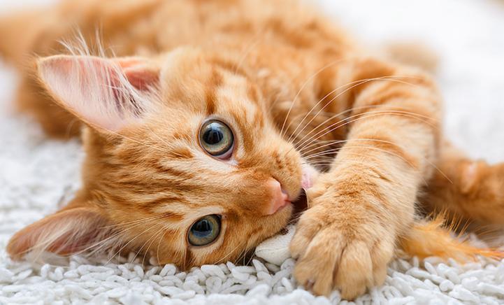 Onderzoek: een kat als huisdier kost je maar liefst € 10.000!