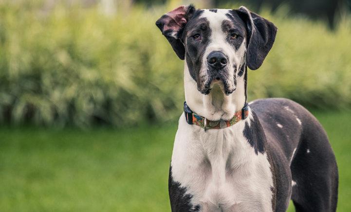 Verrassing voor hondenbaas: Duitse dog baart maar liefst 19 puppy's!