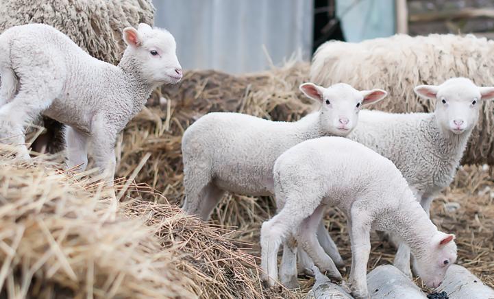 Leuk uitje! Lammetjes spotten op Texel!