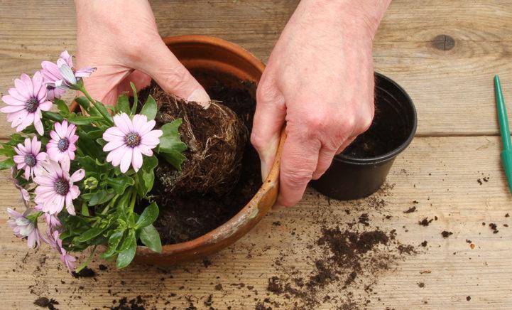 Dit is waarom je de plant nóóit uit de plastic binnenpot moet halen!