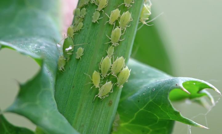 OPLOSSING: wat te doen tegen bladluis?
