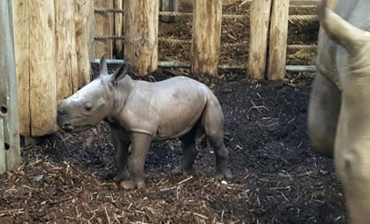 EERSTE BEELDEN: breedlipneushoorntje geboren in Burgers' Zoo