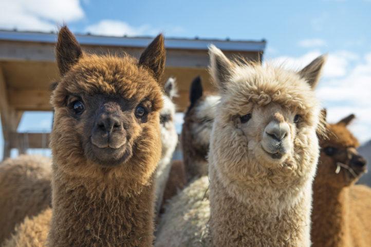 Move-over Alpaca; dít is ons nieuwe lievelingsdier!