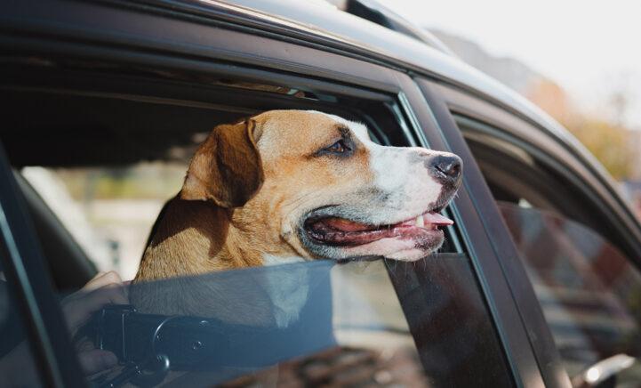 100%NL Magazine hond in de auto